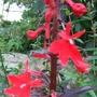 L.cardinalis_blooms
