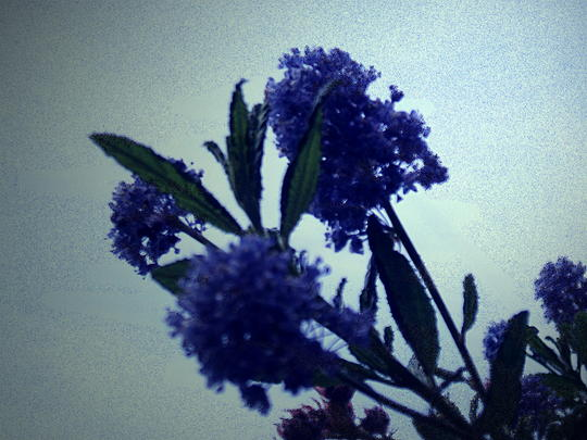 californian lilac in profile