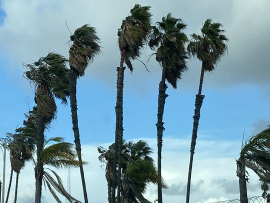 Washingtonias and Queen Palms Blowing in Wind