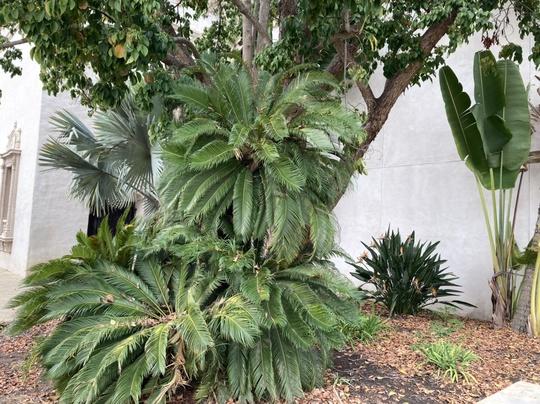 Sago Palm - Cycas revoluta