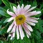 Pale pink annual aster (Callestephus chinesis)