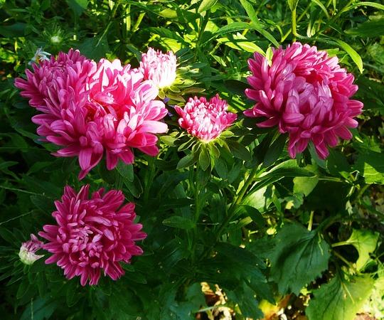 Deep pink Asters (Callestephus chinesis)