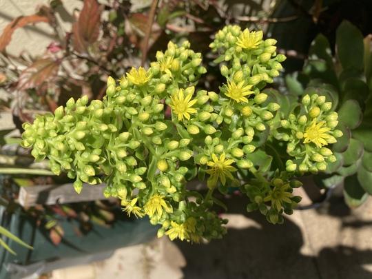 Aeonium Flowering