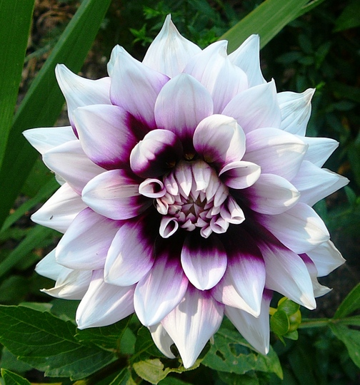 Purple and white dahlia (Dahlia Pinnata (Dahlia))