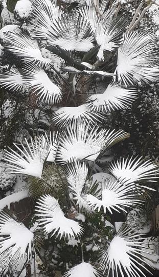 My palms  under the snow