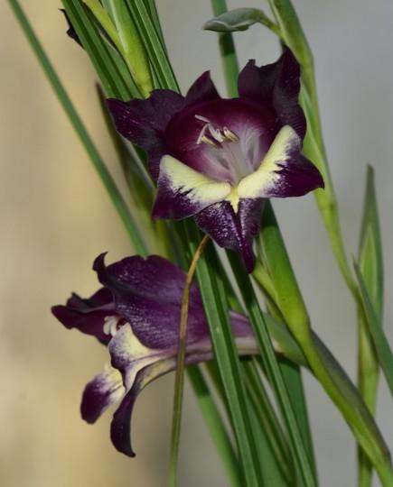 Gladiolus carinatus x huttoni 'Purple Spray'