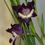 Gladiolus carinatus x huttoni 'Purple Spray'