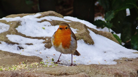 Robin seen today near the river.
