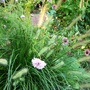 Fountain grass and cosmos (Pennisetum alopecuroides (Chinese Fountain Grass))