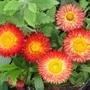 Strawflowers in their prettines