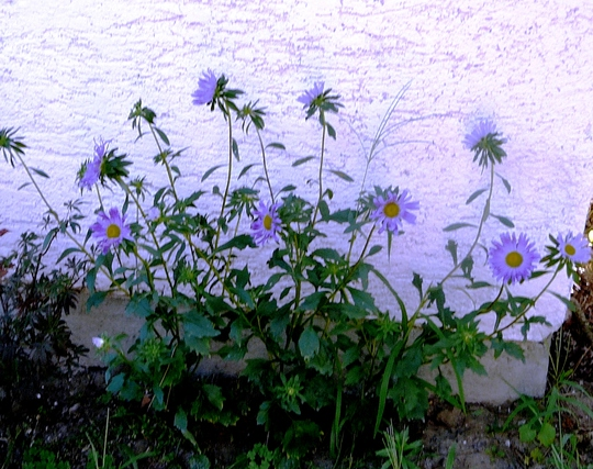 Blue Asters. (Callestephus chinesis)