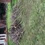 Pruning of apple trees