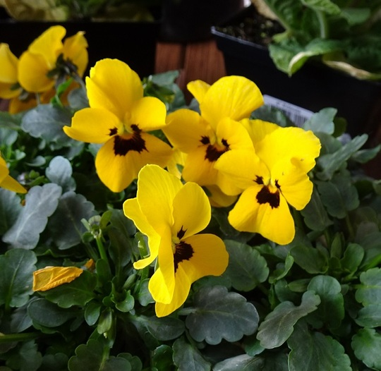 Yellow pansies came home with groceries