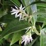 Sarcococca ruscifolia (Sarcococca ruscifolia)