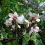 Helleborus ericsmithii (Helleborus ericsmithii)