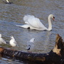 Swan Picture.