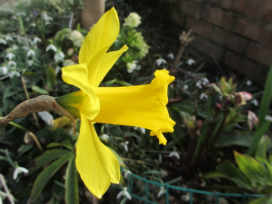 Large yellow Daff (Narcissus)