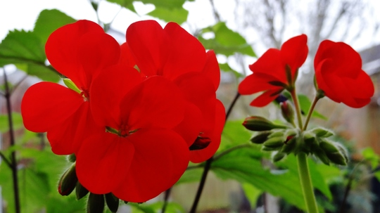 The geranium cuttings I took are now flowering in the conservatory.
