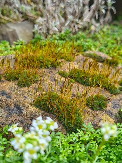 Moss flowers emerging (Moss)