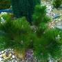 """Pinus """"Thunderhead"""""""