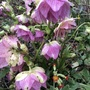 Hellebore and friend.