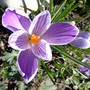 Dsc00112_2_stripe_crocus