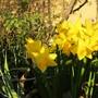 Tête a Tete Daffs (Narcissus)