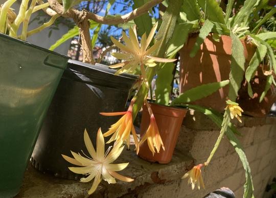 Epiphyllum 'Golden Charms'