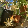 Epiphyllum 'Golden Charms'
