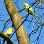 Parakeets living in the wild in a little wooded area .