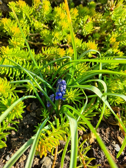 Popping up on the rockery