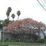 Saucer Magnolia and Palms.