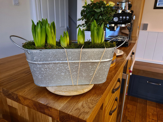 Hyacinths (Hyacinthus orientalis (Hyacinth))