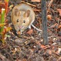 Wood mouse found running about today