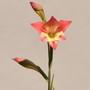 Gladiolus huttonii