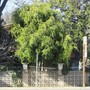 Weeping Fig in Fremont. Sort of a rarity and at this size. (Ficus benjamina (Weeping fig))