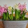 Heavenly hyacinths. (Hyacinthus orientalis (Hyacin)