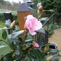 Camellia Flirtation