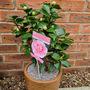 Camellia Bonomiana  (Camellia japonica (Camellia)ica)