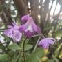 Dendrobium kingianum - Rock Orchid Flowers