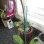 Paphiopedilum Orchid-Blackberry Magic