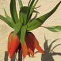 Fritilaria imperialis (Fritillaria imperalis (Crown imperial))