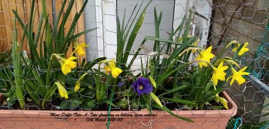 Mini-Daffs 'Tete-A-Tete' flowering in trough on balcony railings 13th March 2021 001 (Daffodil)