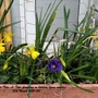 Mini-Daffs 'Tete-A-Tete' flowering in trough on balcony railings 13th March 2021 001 (Daffodil)