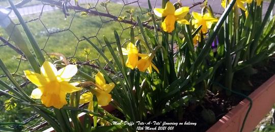Mini-Daffs 'Tete-A-Tete' flowering on balcony 12th March 2021 001 (Daffodil)