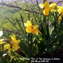 Mini_daffs_tete_a_tete_flowering_on_balcony_12th_march_2021_001