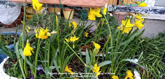 Daffodils flowering on balcony from outside 13th March 2021 001 (Daffodil)