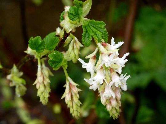 Ribes san.  Elkingtons White