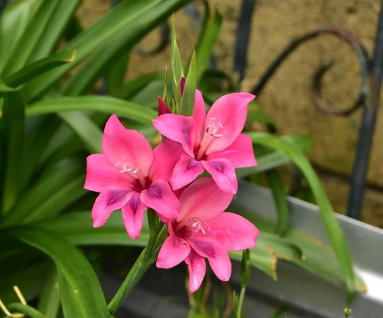 Gladiolus nana 'Volcano'