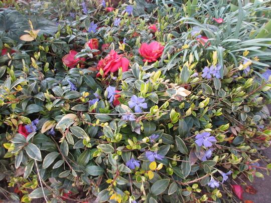Under the Red Camellia (Vinca Mina variegata)